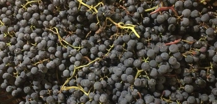 "Why ""Hybrid"" Isn't Useful — or Important — in Wine"